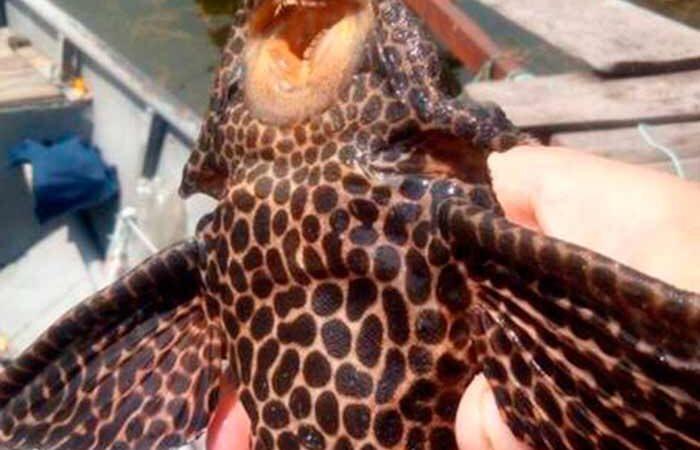 В реке Днепр поймали тропическую рыбу