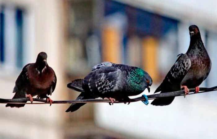 Главу Святошинской РГА просят разобраться с нашествием голубей в районе
