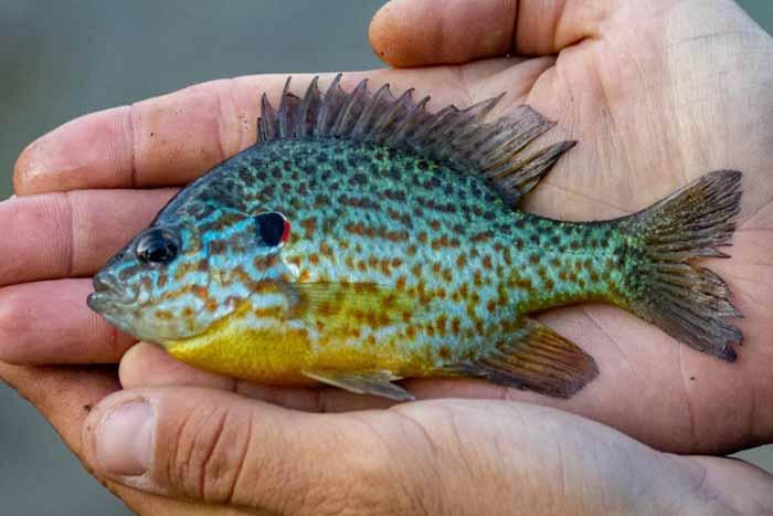 В озерах Киева обнаружили хищников из Северной Америки